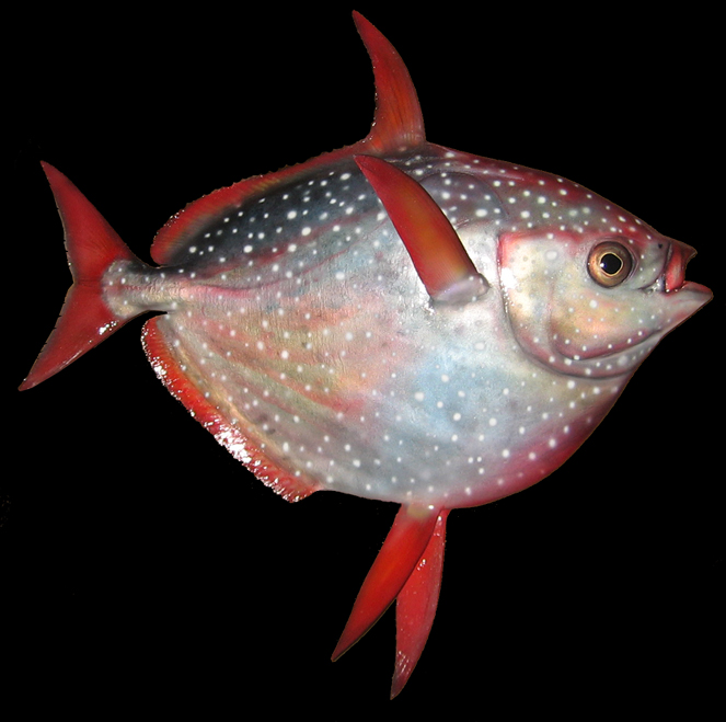 First warm blooded fish ever discovered puzzle scientists for Warm blooded fish