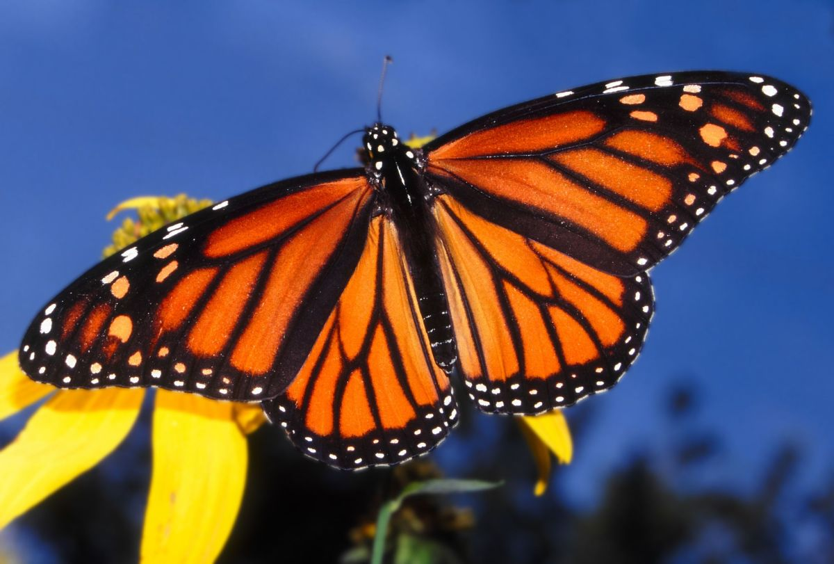 Falling Number Of Monarch Butterflies Worries