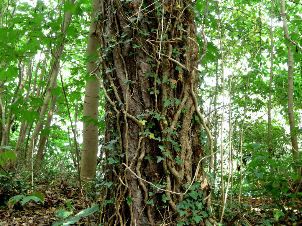 Woody Vines Are Strangling Carbon Storage In Tropical