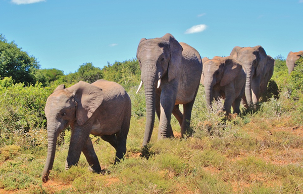 african elephants are in danger because of humans