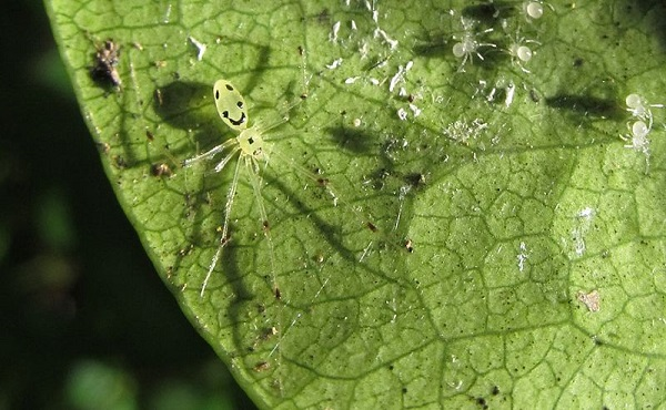 spider species on green leaf in close up