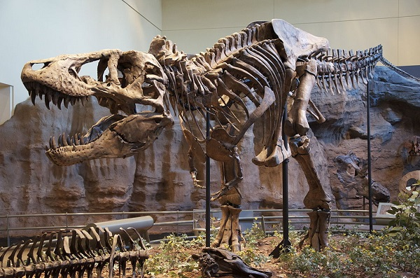 Tyrannosaurus rex on display at a museum